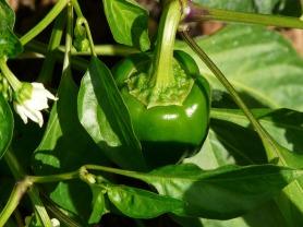 bell-pepper-plant-61726_1920 (4)